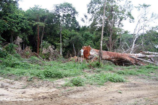 Emergent canopy tree felled for timber