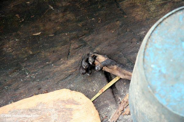 Monkey foot protruding from a bucket in a dugout canoe
