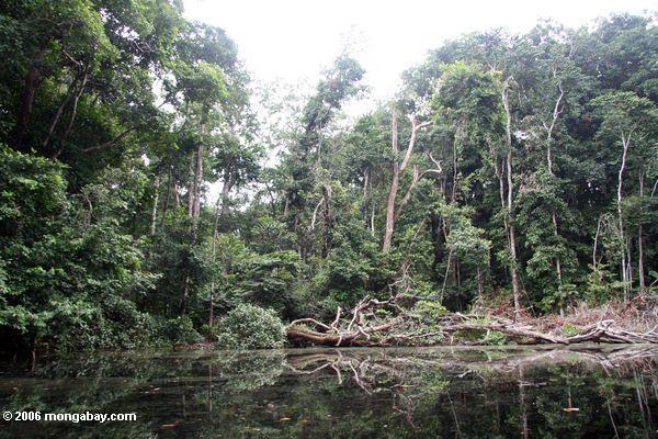 Tropischer Wald entlang einem blackwater Fluß
