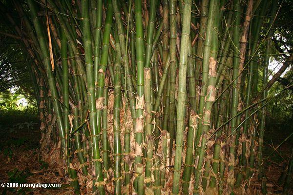 бамбук выступать в качестве части бамбук cathdedral по ул. Анна