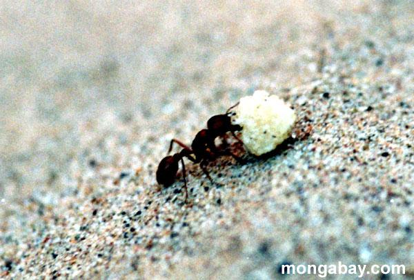 пожар муравьев
