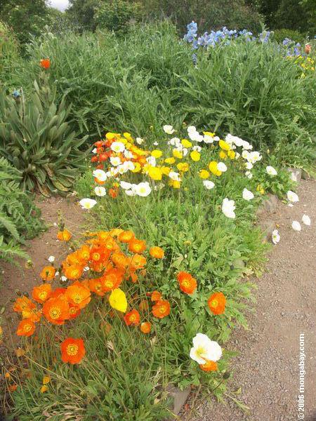 Island Mohnblume an den Akueryi botanischen Gärten