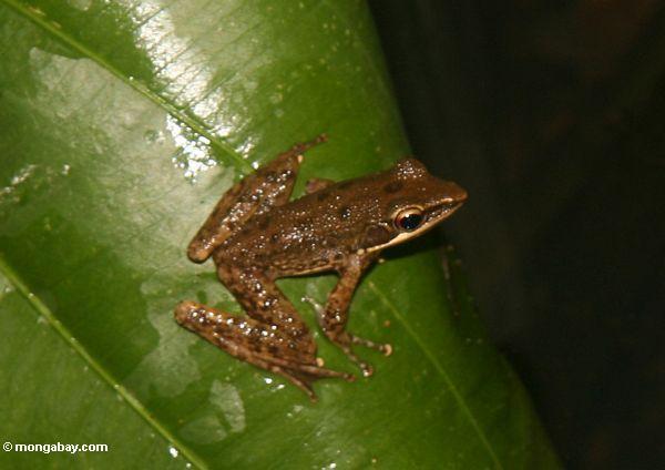 Brauner Frosch auf Blatt in Bali