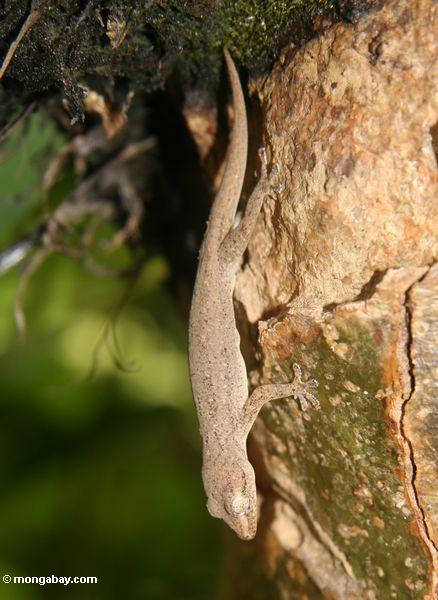 Gecko (Hemidactylus frenatus) Ubud
