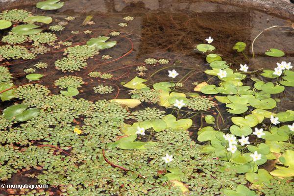 Lilly прокладки в пруду