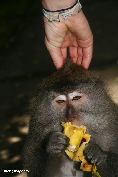 Lang-angebundenes macaque, das eine Banane ißt, während Haben seines Kopfes durch ein touristisches Ubud