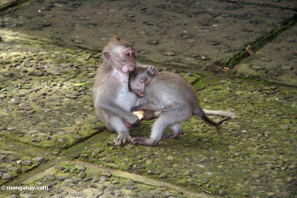 macaques играл