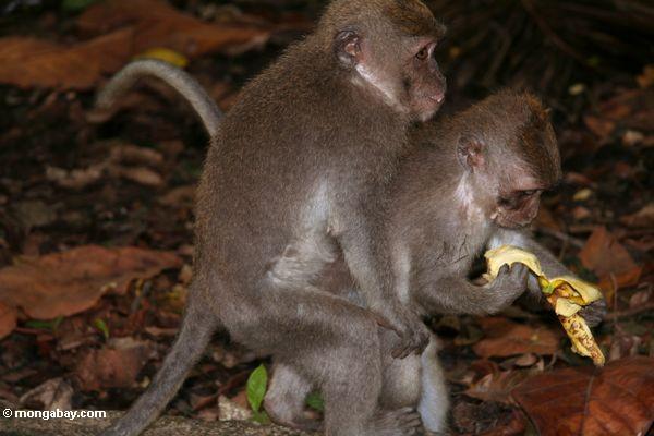 Lang-angebundene macaques, die freundliches Ubud