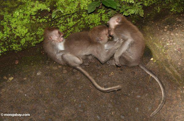 Lang-angebundenes macaque (Macaca fascicularis)