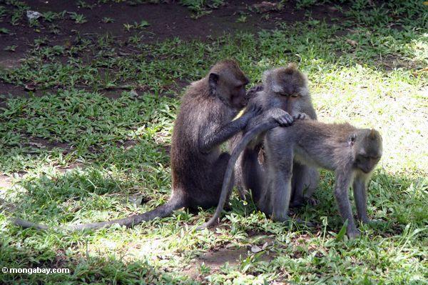 Gruppe, die unter macaques Ubud