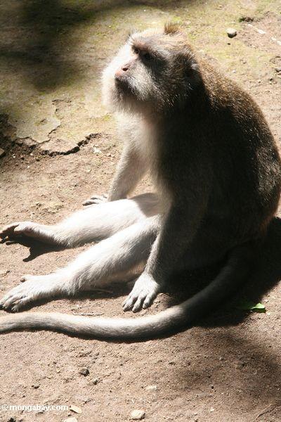 Lang-angebundenes macaque (Macaca fascicularis) in der Sonne