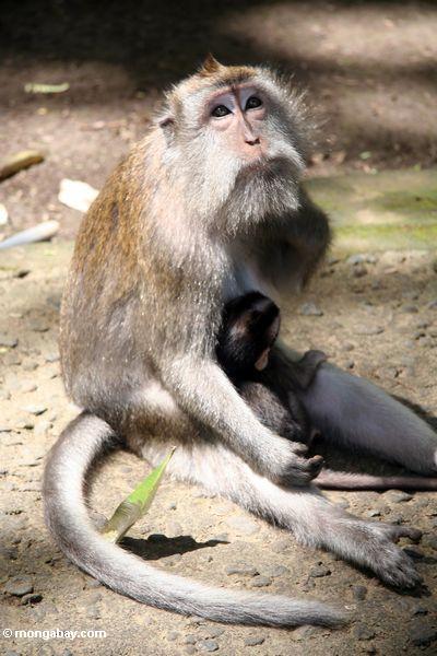 Mutter macaque Affe mit Baby