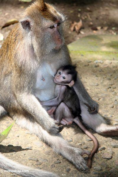 Mutter macaque Affe mit stillendem Baby