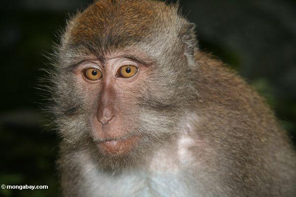 Oben auf dem Gesicht eines lang-angebundenen macaque Ubud