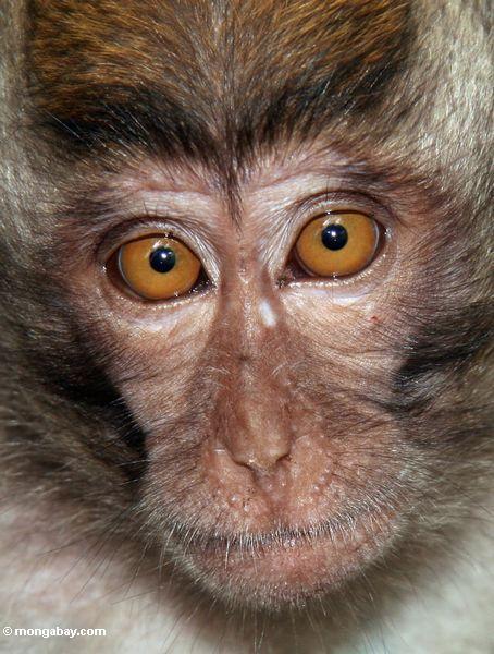 Gesicht eines jungen lang-angebundenen macaque