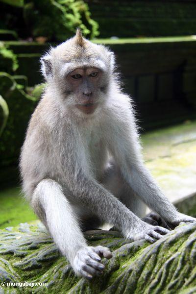 Macaques, das auf Statue Ubud