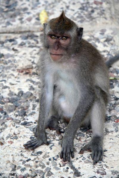 Mohikanisches macaque