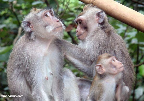 Macaque Familie, die Ubud