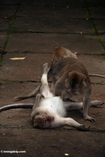 Krabbe-Essen des Pflegens Ubud der Affen (Macaca fascicularis