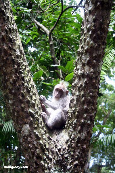 Lang-angebundener macaque Affe (Macaca fascicularis) im Baum