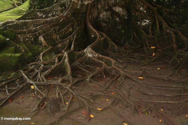 Wurzeln des rainforest Baums
