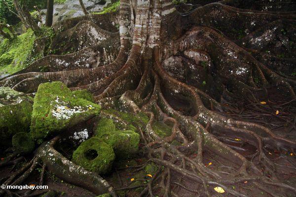 Wurzeln des RegenBaumes des Waldes
