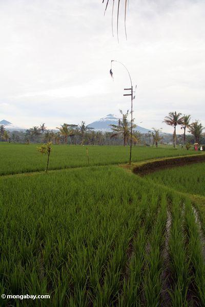 Reis fängt in Bali mit Einfassung Batur Vulkan im Hintergrund