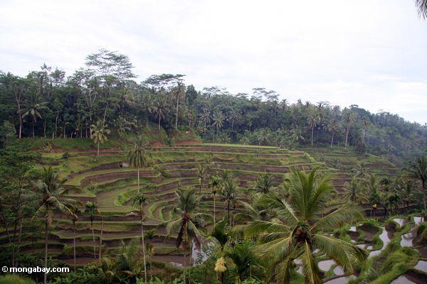 Balinese Reisterrassen