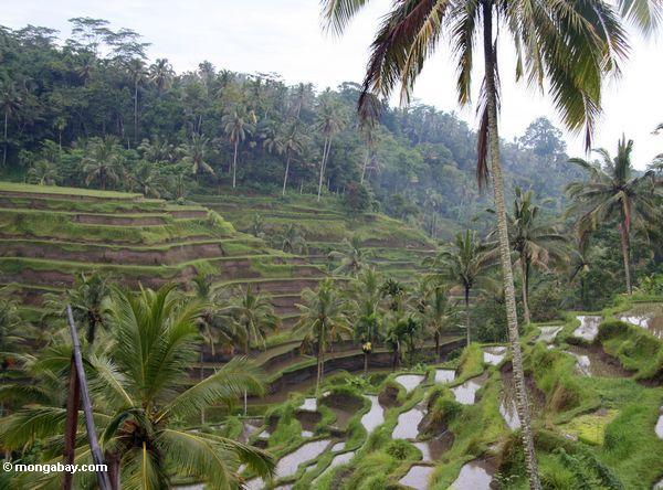 Balinese terassenförmig angelegter Reis fängt