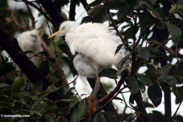 Weiße Reiher von Petulu
