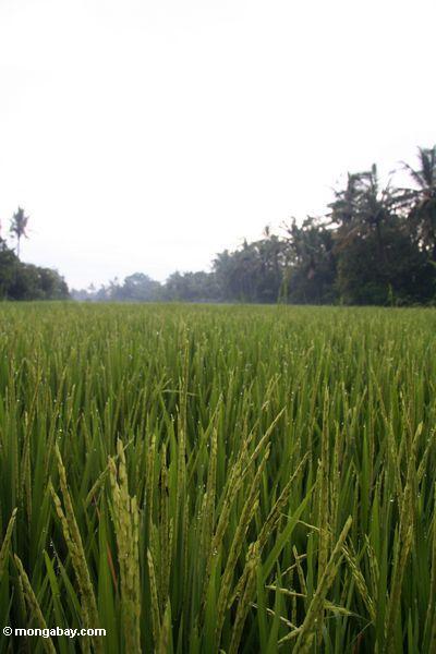 Körner des Reises wachsend in einem Paddy in Bali