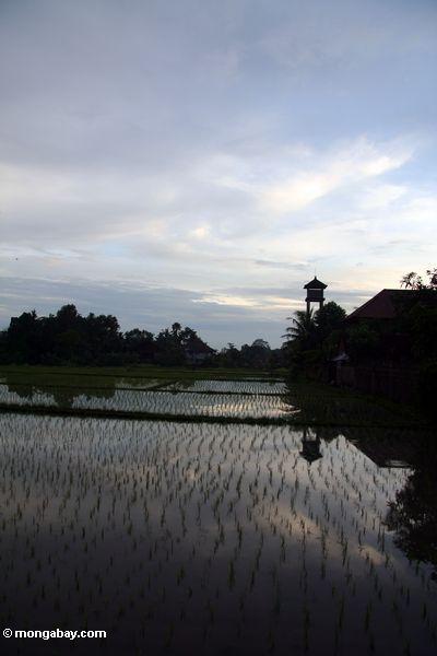 Sonnenuntergang über dem Reis fängt von Ubud