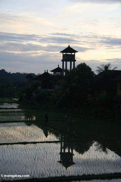 Aufsatz am Sonnenuntergang nahe einem Balinese Reis fangen