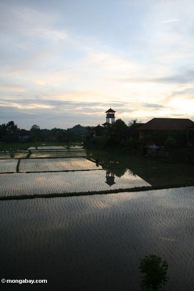Sonnenuntergang über einem Balinese Reispaddy