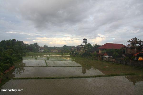 Balinese Reispaddy mit Aufsatz im Hintergrund
