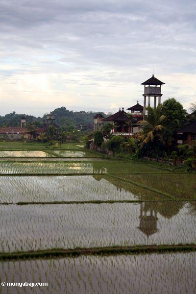 Reis fängt in Bali