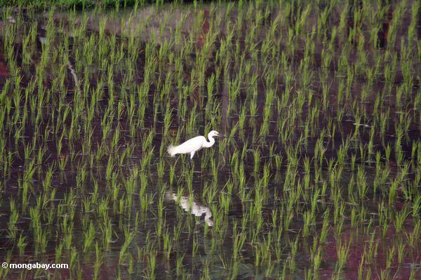 Der weiße Reiher, der in einem Reis watet, fangen in Bali