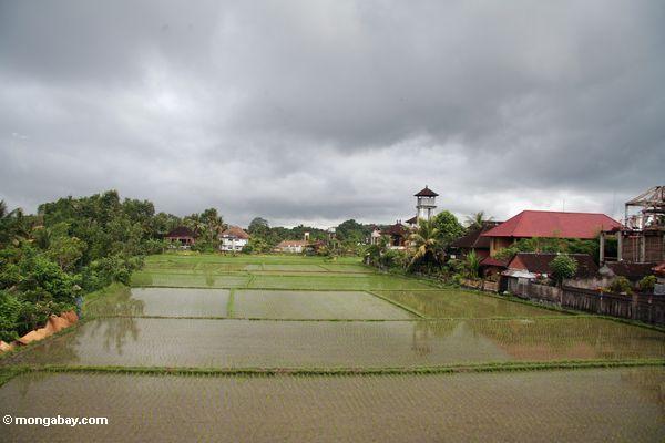 Grüner Reis fängt von Ubud