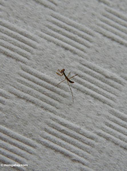 Kleiner brauner betender Mantis