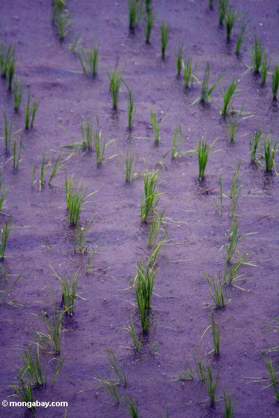Eben errichteter Reis