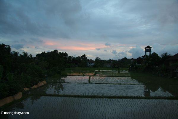 Früher Abend über einem Reispaddy