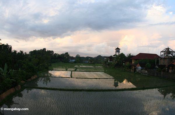 Reis fängt am frühen Abend