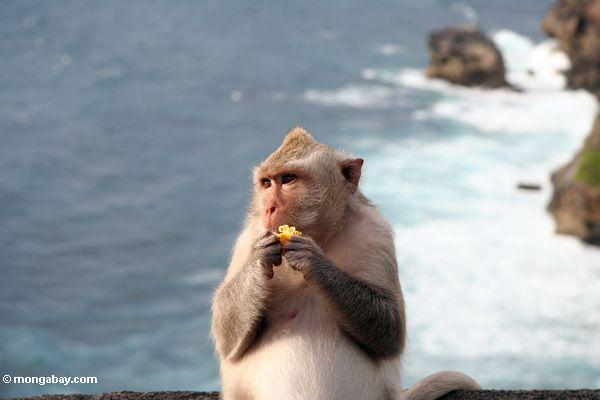 Schwangeres lang-angebundenes macaque bei Uluwatu, mit dem Brechen der Brandung im Hintergrund