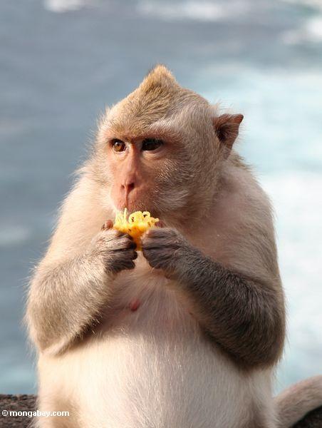 Nahaufnahme des schwangeren lang-angebundenen macaque bei Uluwatu