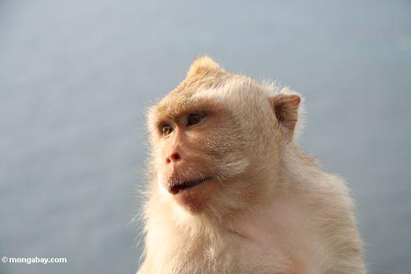 Lang-angebundenes macaque bei Uluwatu