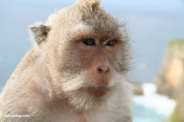 Vom Java Affen bei Uluwatu Jimbaran,