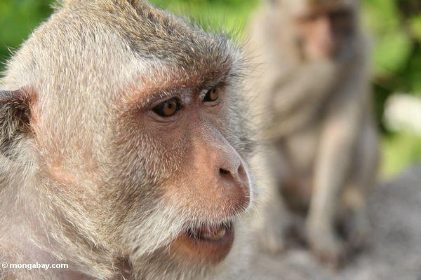 Ende oben des Cynomolgus Affen bei Uluwatu