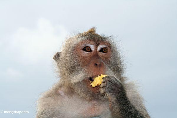 Krabbe-Essen des Affen (Macaca fascicularis) Frucht Jimbaran