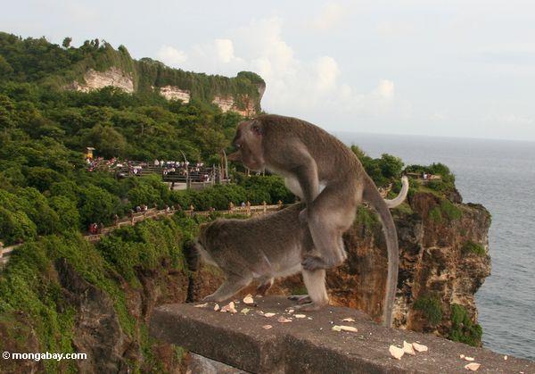 Affen, die bei Uluwatu Jimbaran