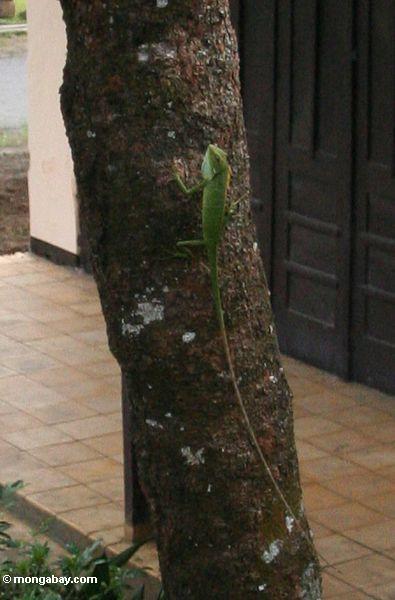 Grüne Dickzungeneidechsedracheeidechse auf Baumstamm